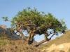 شجرة تزرع في اليمن.. لها 10 فوائد للشعر والبشرة