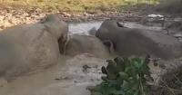 سكان مدينة هندية ينقذون 3 أفيال قبل غرقهم فى الوحل بحفارين فيديو وصور