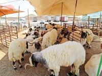 المواشي جهزنا 37 من أضاحي العيد بالمسالخ
