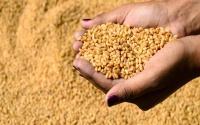 الحكومة السعودية توضح آلية شراء القمح بحال زراعته بدلا من الأعلاف الخضراء