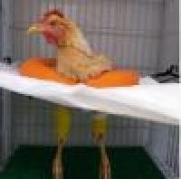 بكلفة 440 دولارا عملية جراحية عاجلة لإنقاذ دجاجة في مصر